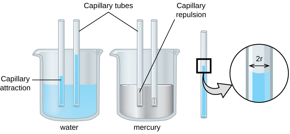 "An image of two beakers and a tube is shown. The first beaker, drawn on the left and labeled ""Water,"" is drawn half-full of a blue liquid. Two open-ended capillary tubes are placed vertically in the beaker and inserted into the liquid. The liquid is shown higher in the tubes than in the beaker and is labeled ""Capillary attraction."" The second beaker, drawn in the middle and labeled ""Mercury,"" is drawn half-full of a gray liquid. Two open-ended capillary tubes are placed vertically in the beaker and inserted into the liquid. The liquid is shown lower in the tubes than in the beaker and is labeled ""Capillary repulsion."" Lines point to the vertical tubes and label them ""Capillary tubes."" A separate drawing of one of the vertical tubes from the first beaker is shown on the right. A right-facing arrow leads from the liquid in the tube to a square call-out box that shows a close-up view of the liquid's surface. The distance across the tube is labeled ""2 r"" in this image."