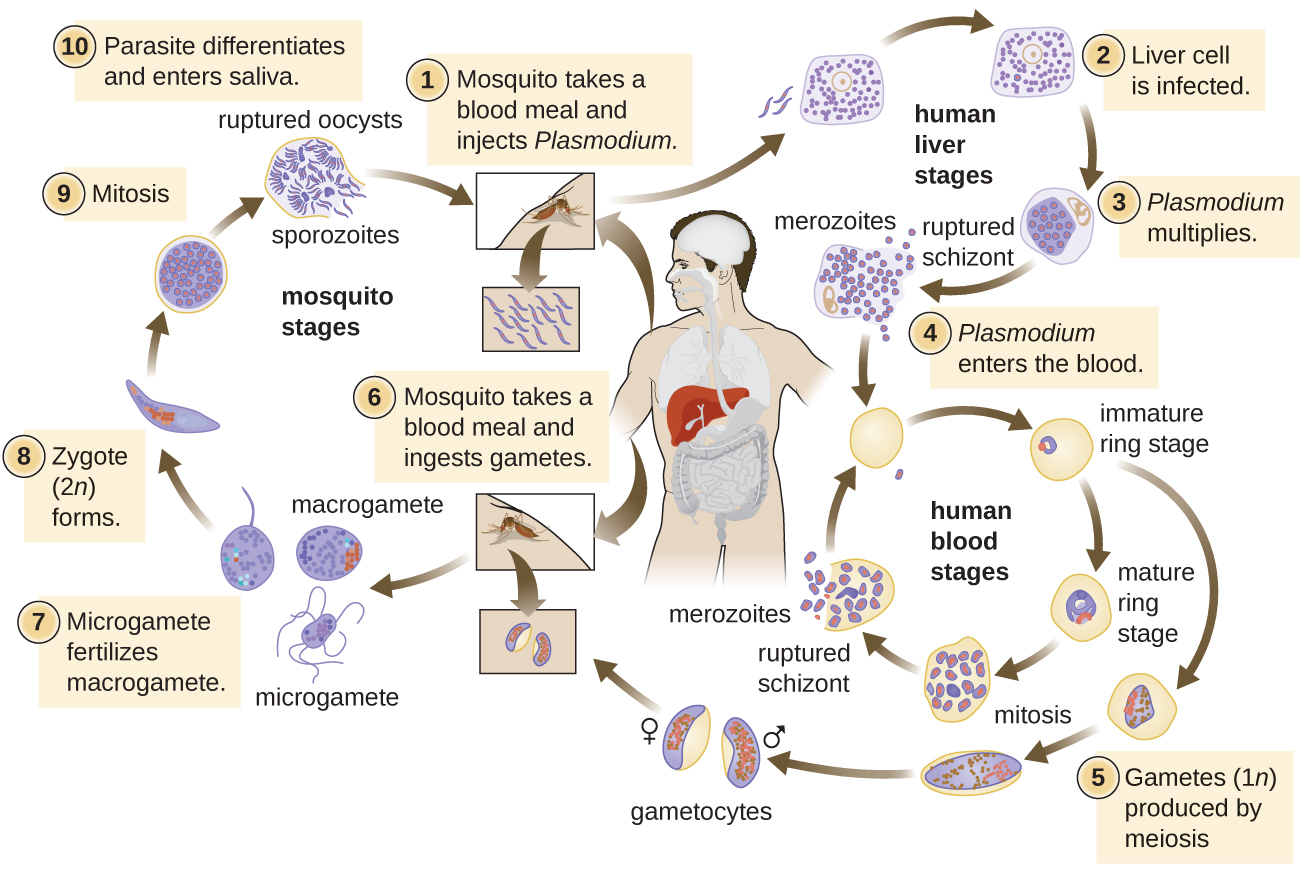 Life cycle of Plasmodium. [Human Liver Stages] 1 – Mosquito take a blood meal and injects Plasmodium into a human. 2 – Plasmodium infects liver cell. 3 – Plasmodium multiplies in liver cell. [Human Blood Stages] 4 – Plasmodium enters blood. An immature ring stage looks like a signet ring in a red blood cell. This becomes a mature ring stage and undergoes mitosis to produce schizonts which are released by rupturing the red blood cells. 5 – Gametes (1n) produced by meiosis. [Mosquito Stages] 6  - Moquito takes a blood meal and ingests gametes. 7 – Microgametes fertilizes macrogamete. 8 – Zygote (2n) forms. 9 – Zygote undergoes mitosis. 10 – Parasite differentiates and enters the saliva of the mosquito.