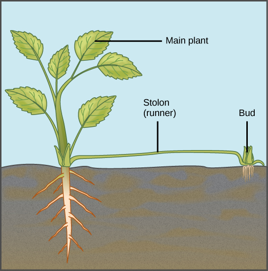Illustration depicts a mature plant. A runner, or stolon, sprouts from the base of the plant and runs along the ground. A bud and adventitious root system form from the runner.