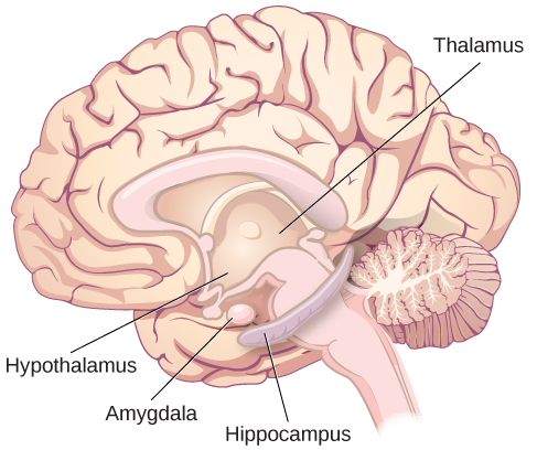 """An illustration of the brain labels the locations of the """"thalamus,"""" """"hypothalamus,"""" """"amygdala,"""" and """"hippocampus."""""""