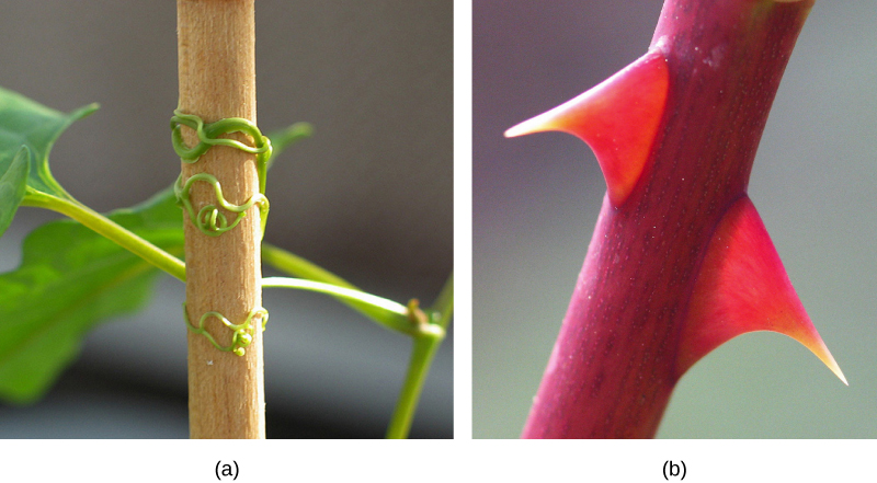 Photo shows (a) a plant clinging to a stick by wormlike tendrils and (b) two large, red thorns on a red stem.