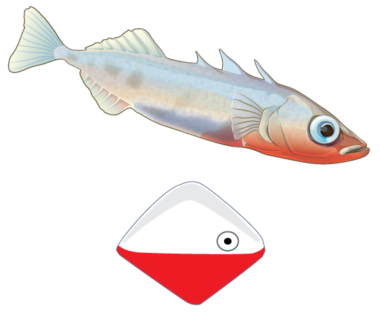 Photo shows a white fish with a reddish bottom on top. Below the fish is a diamond-shaped object that resembles a fishing lure; it is white on the top and red on the bottom, with an eye at the front.