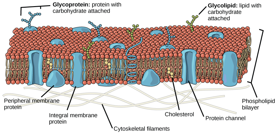 This illustration shows that the inside and outside of a plasma membrane are different.