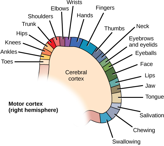Diagram shows the location of motor control for various muscle groups on the right hemisphere cerebral cortex. From the top middle of the motor cortex to the bottom right, the order of areas controlled is toes, ankles, knees, hips, trunk, shoulders, elbows, wrists, hands, fingers, thumbs, neck, eyebrows and eyelids, eyeballs, face, lips, jaw, tongue, salivation, chewing and swallowing.
