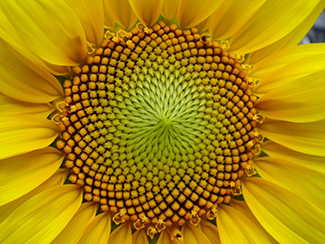 This is a photo of a sunflower, particularly the curves of the seeds at its middle. The number of spirals in each direction is always a Fibonacci number.