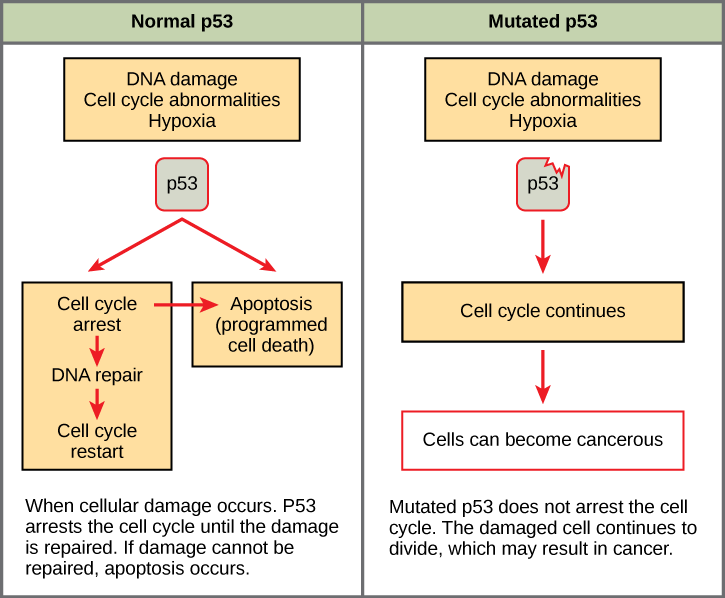 Part a: This illustration shows cell cycle regulation by normal p53, which arrests the cell cycle in response to DNA damage, cell cycle abnormalities, or hypoxia. Once the damage is repaired, the cell cycle restarts. If the damage cannot be repaired, apoptosis (programmed cell death) occurs. Part b: Mutated p53 does not arrest the cell cycle in response to cellular damage. As a result, the cell cycle continues, and the cell may become cancerous.