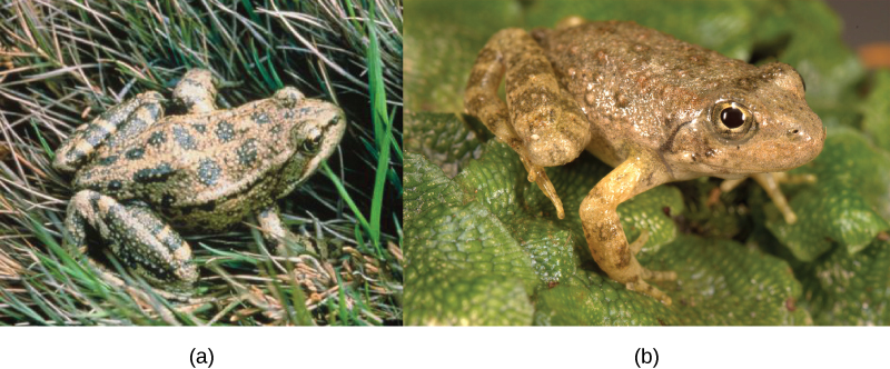Photo a shows Rana aurora, a beige frog with green spots. Photo b shows Rana boylii, a brown frog.