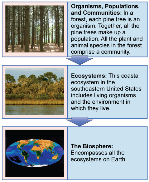"A flow chart of three boxes shows the hierarchy of living organisms. The top box is labeled ""Organisms, populations, and communities"" and has a photograph of tall trees in a forest. The second box is labeled ""ecosystems"" and has a photograph of a body of water, behind which is a stand of tall grasses developing into more dense vegetation and trees as distance from the water increases. The third box is labeled ""the biosphere"" and shows a drawing of planet Earth."