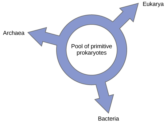 Illustration shows a ring with the words, pool of primitive prokaryotes, in the middle. Three arrows point outward from the ring, pointing at the three domains, Bacteria, Archaea, and Eukarya, indicating that all three domains arose from a common pool of prokaryotes.