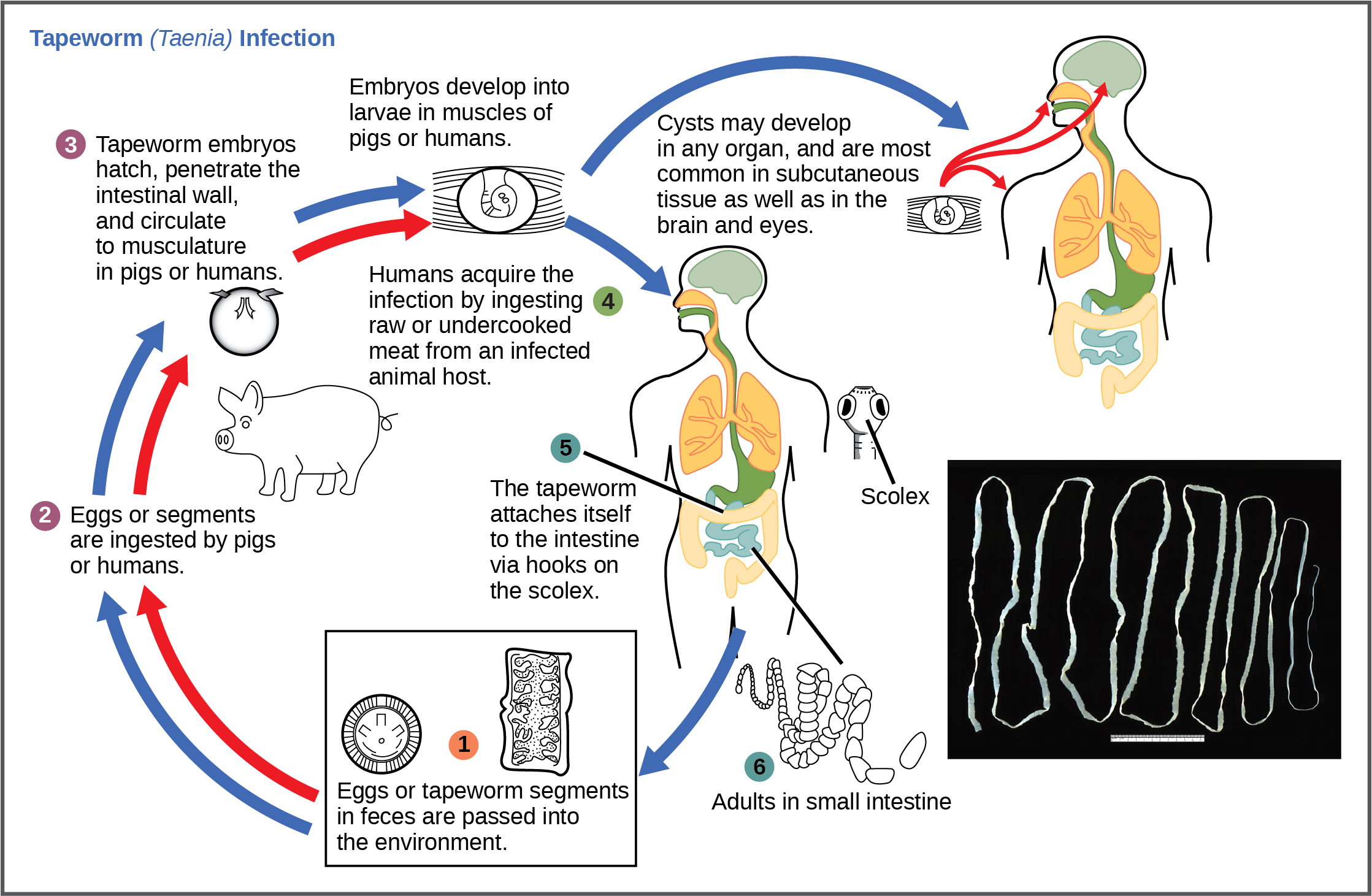 The life cycle of a tapeworm begins when eggs or tapeworm segments in the feces are ingested by pigs or humans. The embryos hatch, penetrate the intestinal wall, and circulate to the musculature in both pigs and humans. Humans may acquire a tapeworm infection by ingesting raw or undercooked meat. Infection may results in cysts in the musculature, or in tapeworms in the intestine. Tapeworms attach themselves to the intestine via a hook-like structure called the scolex. Tapeworm segments and eggs are excreted in the feces, completing the cycle.
