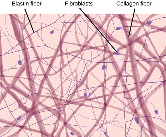 Illustration shows thick collagen fibers and thin elastin fibers loosely woven together in an irregular network. Oval fibroblasts are interspersed among the fibers.