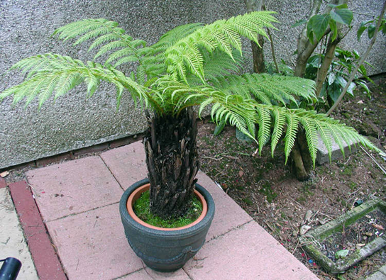 Photo shows a potted tree fern.