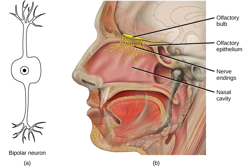 Illustration A shows a bipolar neuron, which has two dendrites. Illustration B shows a cross section of a human head. The nostrils lead to the nasal cavity, which sits above the mouth. The olfactory bulb is just above the olfactory epithelium that lines the nasal cavity. Nerve endings, resembling a cluster of small, thin extensions much like the roots of a plant, run from the bulb into the nasal cavity.