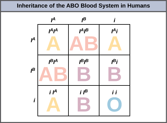 A Punnett square showing the possible genotype and phenotypes of the ABO blood types in humans