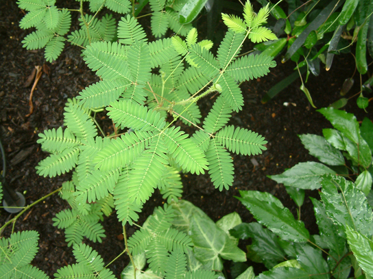 A photograph of the Mimosa pudica shows a plant with many tiny leaves connected to a central stem. Four of these stems connect together.