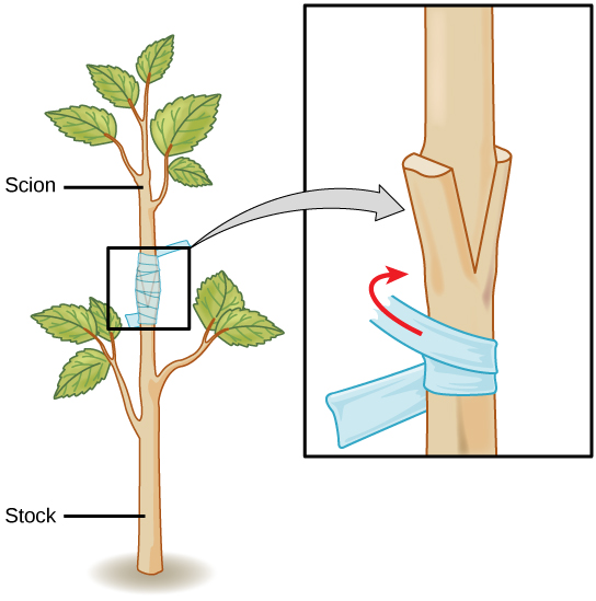Illustration shows the trunk of a sapling, which has been split.  This is labeled as the stock. The upper part of a different sapling is wedged into the split and taped so that the two parts can grow together. This is labeled as the scion.