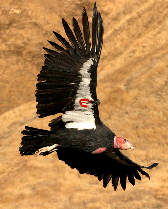 Photo shows a California condor in flight with a tag on its wing.