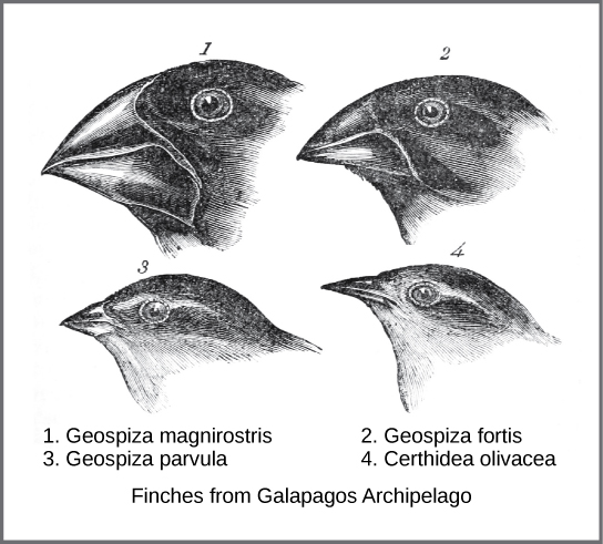 Illustration shows four different species of finch from the Galapagos Islands. Beak shape ranges from broad and thick to narrow and thin.