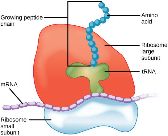 The ribosome consists of a small subunit and a large subunit, which is about three times as big as the small one. The large subunit sits on top of the small one. A chain of mRNA threads between the large and small subunits. A protein chain extends from the top of the large subunit.