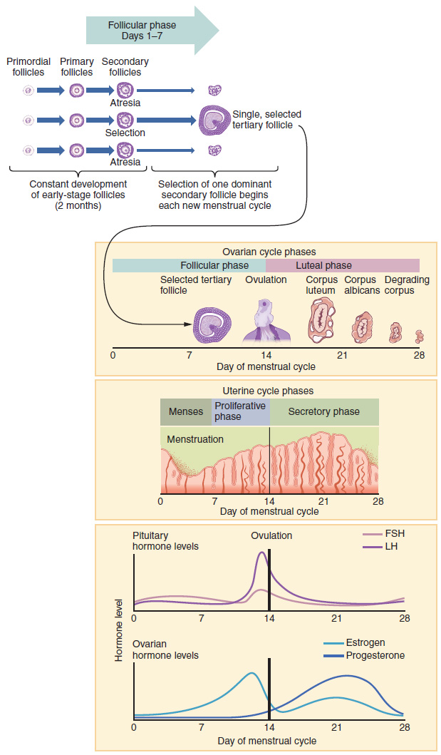 The top panel of this image shows the stages in the follicular phase and how one follicle is selected at the end of this phase. The middle part of this image shows the ovarian cycle phases and the uterine cycle phases. The bottom panel shows the levels of different hormones as a function of time.