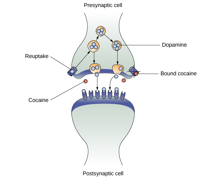 """An illustration of a presynaptic cell and a postsynaptic cell shows these cells' interactions with cocaine and dopamine molecules. The presynaptic cell contains two cylinder-shaped channels, one on each side near where it faces the postsynaptic cell. The postsynaptic cell contains several receptors, side-by-side across the area that faces the presynaptic cell. In the space between the two cells, there are both cocaine and dopamine molecules. One of the cocaine molecules attaches to one of the presynaptic cell's channels. This cocaine molecule is labeled """"bound cocaine."""" An X-shape is shown over the top of the bound cocaine and the channel to indicate that the cocaine does not enter the presynaptic cell. A dopamine molecule is shown inside of the presynaptic cell's other channel. Arrows connect this dopamine molecule to several others inside of the presynaptic cell. More arrows connect to more dopamine molecules, tracing their paths from the channel into the presynaptic cell, and out into the space between the presynaptic cell and the postsynaptic cell. Arrows extend from two of the dopamine molecules in this in-between space to the postsynaptic cell's receptors. Only the dopamine molecules are shown binding to the postsynaptic cell's receptors."""