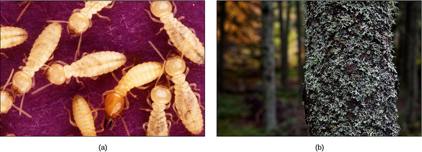 Photo (a) shows yellow termites and photo b shows a tree covered with lichen; the tree's bark appears covered in a mossy, fuzzy substance.
