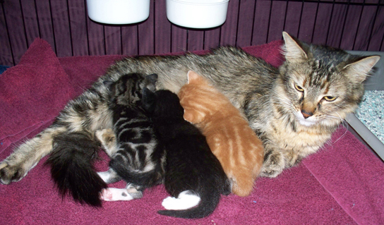 A photograph depicts a mother cat nursing three kittens: one has an orange and white tabby coat, another is black with a white foot, while the third has a black and white tabby coat.