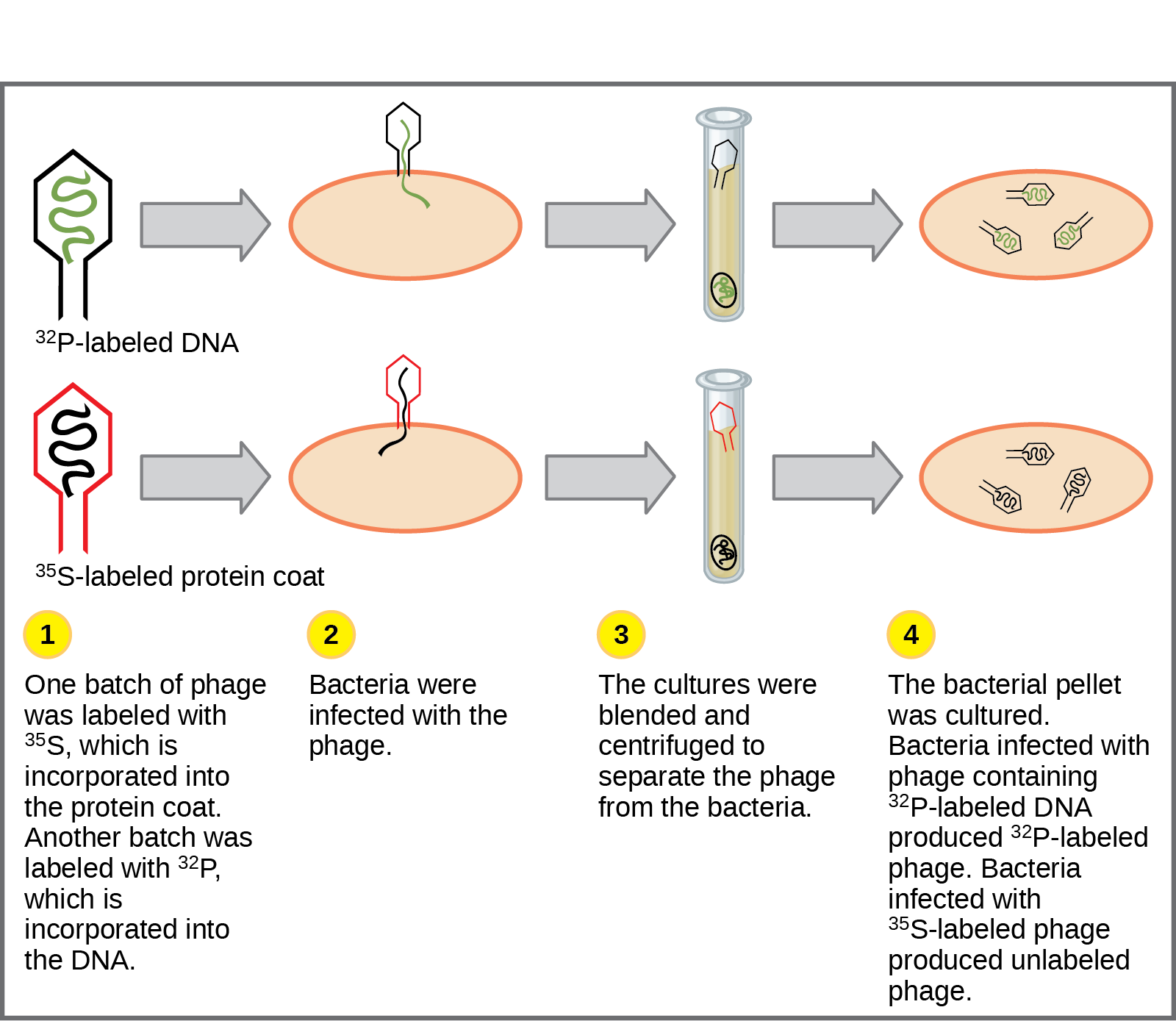 Illustration shows bacteria being infected by phage labeled with superscript 35 baseline upper case S, which is incorporated into the protein coat, or superscript 32 baseline upper case P, which is incorporated into the D N A. Infected bacteria were separated from phage by centrifugation and cultured. The bacteria that had been infected with phage containing superscript 32 baseline upper P labeled D N A made radioactive phage. The bacteria that had been infected with superscript 35 baseline upper S labeled phage produced unlabeled phage. The results support the hypothesis that D N A, and not protein, is the genetic material.