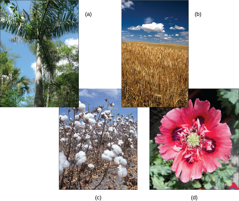 Photo A shows a royal palm tree in a tropical setting. Photo B shows a field of wheat. Photo C shows cotton balls on a cotton plant. Photo D shows a red poppy flower.