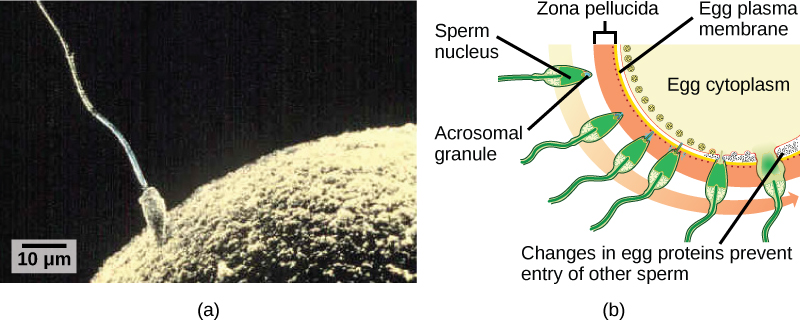 Part A is a micrograph that shows a sperm whose head is touching the surface of an egg. The egg is much larger than the sperm. Part B is an illustration that shows the surface of the egg, which is coated with a zona pellucida. The sperm penetrates the zona pellucida, then the egg plasma membrane and releases its D N A into the egg cytoplasm. At this point, changes in proteins just inside the egg's cell membrane occur, preventing entry of other sperm.