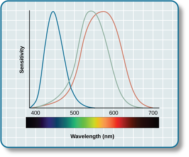 "A graph is shown with ""sensitivity"" plotted on the y-axis and ""Wavelength"" in nanometers plotted along the x-axis with measurements of 400, 500, 600, and 700. Three lines in different colors move from the base to the peak of the y axis, and back to the base. The blue line begins at 400 nm and hits its peak of sensitivity around 455 nanometers, before the sensitivity drops off at roughly the same rate at which it increased, returning to the lowest sensitivity around 530 nm . The green line begins at 400 nm and reaches its peak of sensitivity around 535 nanometers. Its sensitivity then decreases at roughly the same rate at which it increased, returning to the lowest sensitivity around 650 nm. The red line follows the same pattern as the first two, beginning at 400 nm, increasing and decreasing at the same rate, and it hits its height of sensitivity around 580 nanometers. Below this graph is a horizontal bar showing the colors of the visible spectrum."