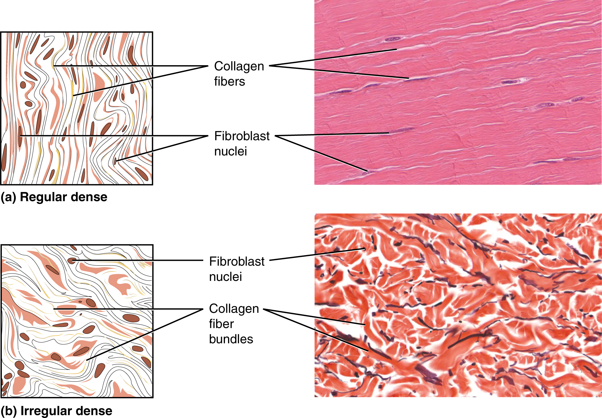 4 3 Connective Tissue Supports And Protects Anatomy And