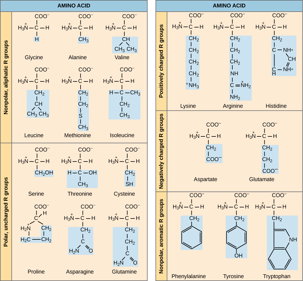 Structures of the twenty amino acids are given. Six amino acids—glycine, alanine, valine, leucine, methionine, and isoleucine—are non-polar and aliphatic, meaning they do not have a ring. Six amino acids—serine, threonine, cysteine, proline, asparagine, and glutamate—are polar but uncharged. Three amino acids—lysine, arginine, and histidine—are positively charged. Two amino acids, glutamate and aspartate, are negatively charged. Three amino acids—phenylalanine, tyrosine, and tryptophan—are nonpolar and aromatic.