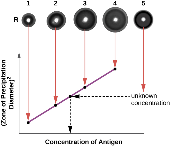 At the top is a photograph of 4 clear dots in a row. Dot 1 has a small ring around it, dot 2 has a larger ring, dot 3 has a larger ring, and dot 4 has an even larger ring. These have arrows leading to a graph that shows that the size of the ring (zone of precipitation diameter)  relates to the concentration of antigen. The lower antigen concentration results in a smaller ring.  Another dot (#5) off to the side contains an unknown antigen concentration. The size of the ring is measured and used to find the concentration of antigen. This is done by finding the ring size on the line from the graph and connecting that to the X-axis to find the concentration of antigen.