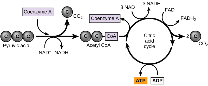 A graphic shows pyruvate becoming a two-carbon acetyl group by removing one molecule of carbon dioxide. The two-carbon acetyl group is picked up by coenzyme A to become acetyl CoA. The acetyl CoA then enters the citric acid cycle. Three NADH, one FADH2, one ATP, and two carbon dioxide molecules are produced during this cycle.