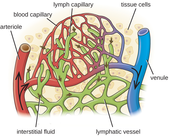 Blood enters the capillaries from an arteriole (red) and leaves through venules (blue). Interstitial fluids may drain into the lymph capillaries (green) and proceed to lymph nodes. A close-up of tissue cells in interstitial fluid. An arteriole and a venule are connected by a network of capillaries. Lymphatic vessels are also a network  in this region and end in lymph capillarie.