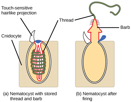The illustration shows a nematocyst before, shown as a; and after, shown as b, firing. The nematocyst is a large, oval organelle inside a rectangular cnidocyte cell. The nematocyst is flush with the plasma membrane, and a touch-sensitive hairlike projection extends from the nematocyst to the cell's exterior. Inside the nematocyst, a thread is coiled around an inverted barb. Upon firing, a lid on the nematocyst opens. The barb pops out of the cell and the thread uncoils.