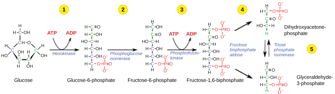 This illustration shows the steps in the first half of glycolysis. In step one, the enzyme hexokinase uses one ATP molecule in the phosphorylation of glucose. In step two, glucose-6-phosphate is rearranged to form fructose-6-phosphate by phosphoglucose isomerase. In step three, phosphofructokinase uses a second ATP molecule in the phosphorylation of the substrate, forming fructose-1,6-bisphosphate. The enzyme fructose bisphosphate aldose splits the substrate into two, forming glyceraldeyde-3-phosphate and dihydroxyacetone-phosphate. In step 4, triose phosphate isomerase converts the dihydroxyacetone-phosphate into glyceraldehyde-3-phosphate