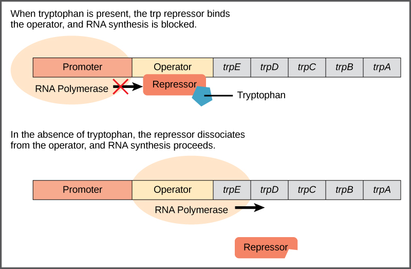 The trp operon has a promoter, an operator, and five genes named trpE, trpD, trpC, trpB, and trpA that are located in sequential order on the DNA. RNA polymerase binds to the promoter. When tryptophan is present, the trp repressor binds the operator and prevents the RNA polymerase from moving past the operator; therefore, RNA synthesis is blocked. In the absence of tryptophan, the repressor dissociates from the operator. RNA polymerase can now slide past the operator, and transcription begins.