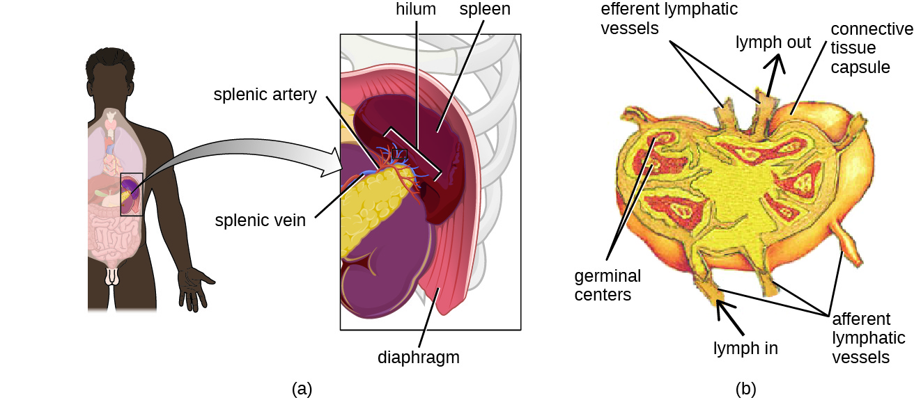 a) A diagram showing that the spleen is found at the end of the pancreas just under the diaphragm. The part closest to the pancreas is the hilium and contains the splenic artery and vein. B) a close-up of the spleen. Afferent lymphatic vessels are tubes that bring material in. Efferent lymphatic vessels are tubes that take material out of the spleen. Connective tissue forms a capsule around the outside; and a space under the capsule is labeled subcapsular sinus. The cortex of the spleen is the outer layer. And trabeculae are regions of cortex that fold in towards the center. Germinal centers are red structures in the cortex.