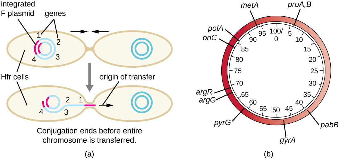 a) Diagram showing one cell with multiple genes on its chromosome as well as an integrated F plasmid. This cell begins copying and transferring its entire genome but conjugation ends before the entire chromosome is transferred. B) A sample plasmid showing the variety of genes on the plasmid. Some sample genes include: argG, pabB, metA, argR, polA, and oriC. Numbers in the center of the plasmid indicate the location of genes; these numbers show a plasmid of 1000bp total.
