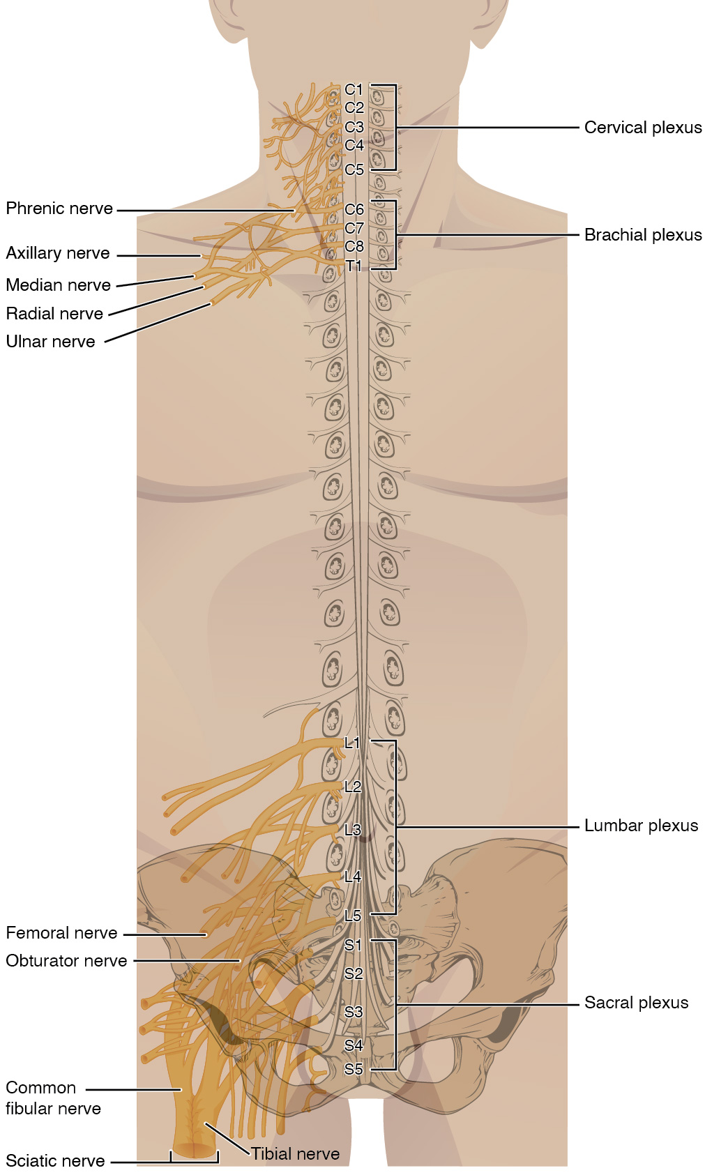 This figure shows a torso of a human body. The spinal cord is shown in the body and the main nerves along the spinal cord are labeled.