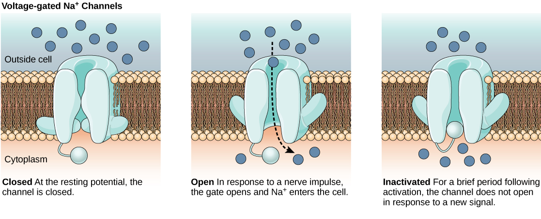 The first image shows a voltage-gated sodium channel that is closed at the resting potential. In response to a nerve impulse the channel opens, allowing sodium to enter the cell. After the impulse the channel enters an inactive state. The channel closes by a different mechanism and, for a brief period does not reopen in response to a new nerve impulse.