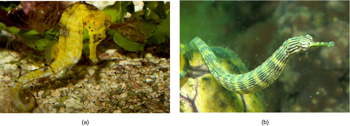 Photo (a) shows a yellow sea horse; (b) shows a pipefish, which is green and tubular with a long snout.