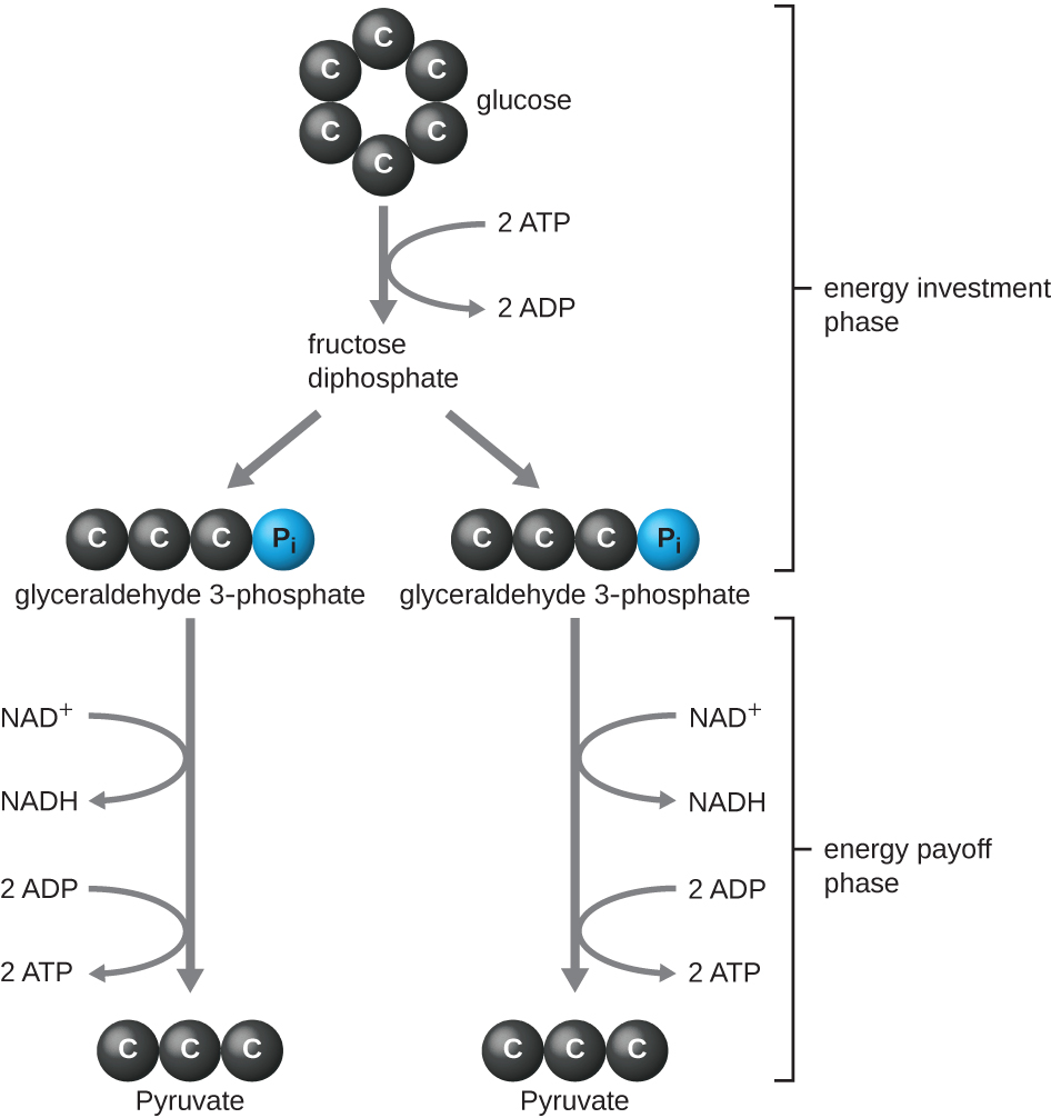 The energy investment phase of the Embden-Meyerhof-Parnas glycolysis pathway uses two ATP molecules to phosphorylate glucose, forming two glyceraldehyde 3-phosphate (G3P) molecules...