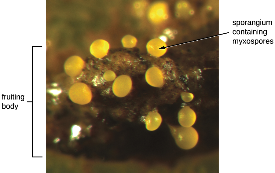 An image of a round structure labeled fruiting body. Smaller spheres on this structure are labeled sporangium containing myxospores.