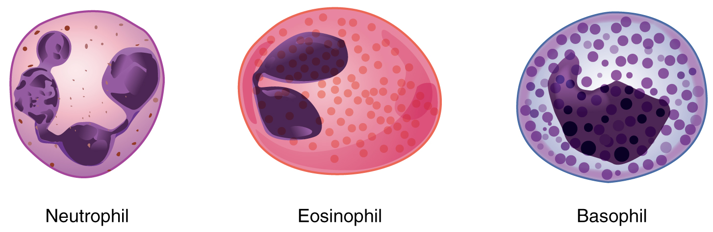The  left image shows a neutrophil, the middle image shows an eosinophil, and the right image shows a basophil.