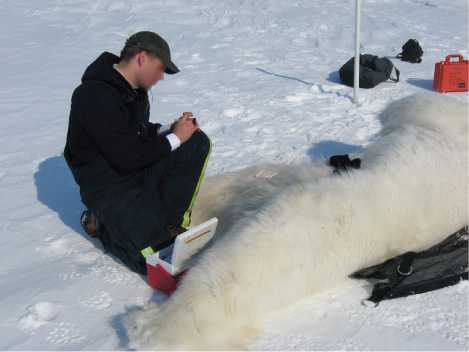 Photo shows a scientist next to a tranquilized polar bear laying on the snow.