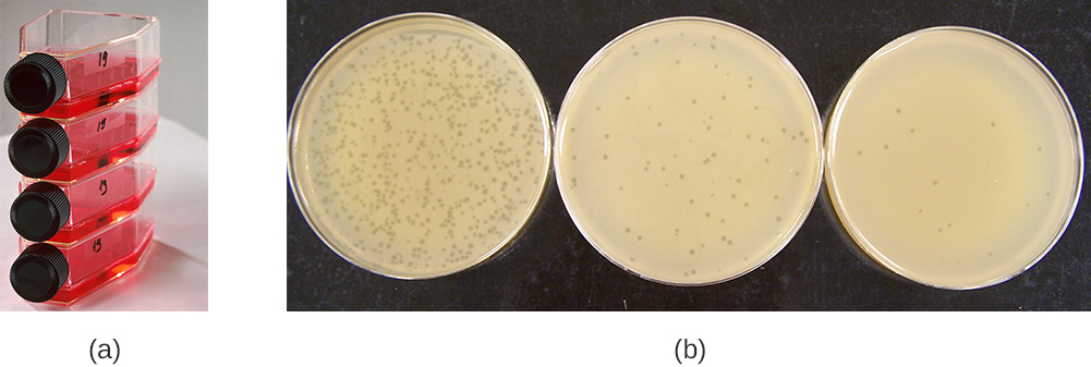 Figure a shows bottles laying on their side with red liquid; the bottles have screw-caps. Figure b shows 3 plates covered in bacterial growth (which is a smooth beige lawn). Each plate has small dots that are regions of no growth. Some plates have many of these plaques some have few.