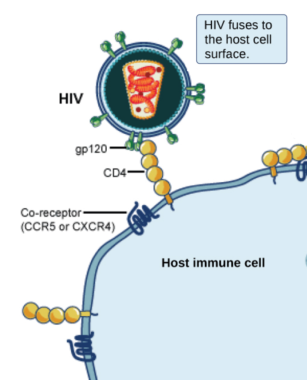 In the illustration a viral receptor on the surface of an H I V virus is attaches to a co-receptor embedded in the plasma membrane. The co-receptor is either C C R 5 or C X C R 4.